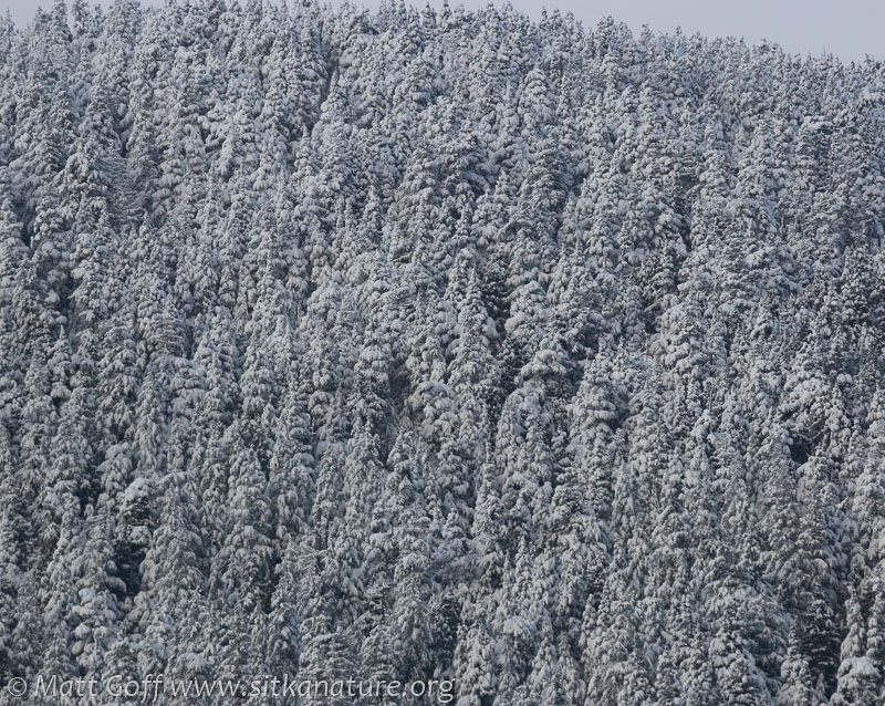 Snowy Forested Slopes
