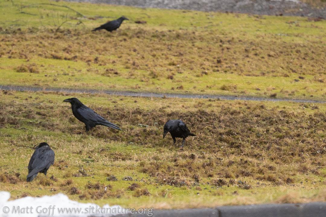Ravens working lawn
