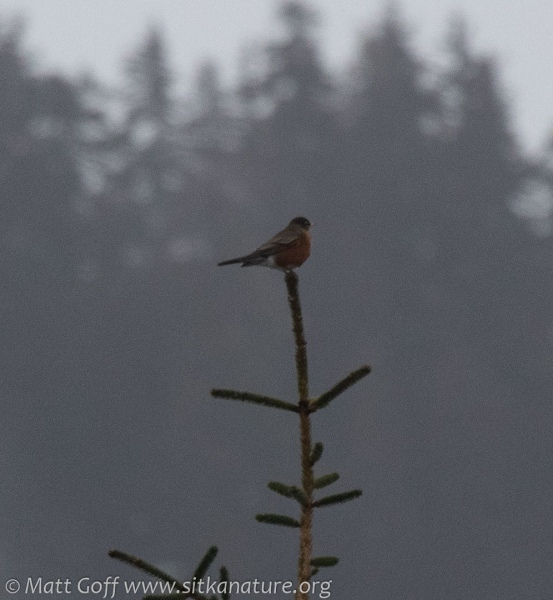 Robin in a Tree Top
