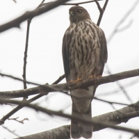 Immature Sharp-shinned Hawk
