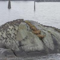Surfbirds on Sage Rock