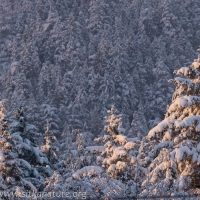 Snow-covered Trees at Sunset