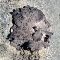 Lichen - <em>Umbilicaria</em>?
