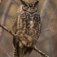 Roosting Great Horned Owl