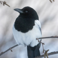 Magpie Portrait