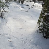 Forest Tracks