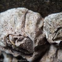Barnacle Lichen (<em>Collemopsidium</em>)