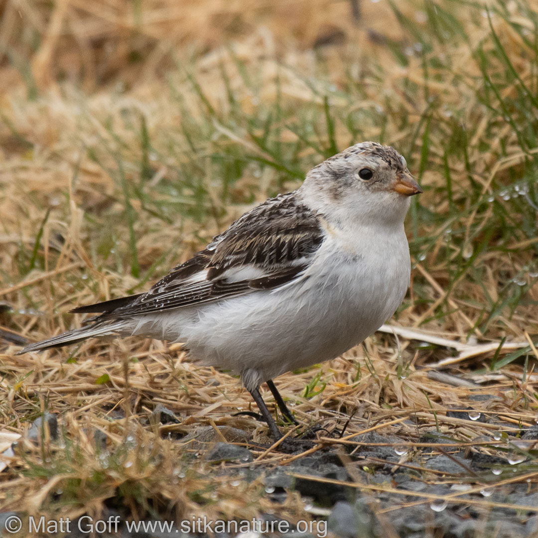 Snow Bunting on old Airport Road