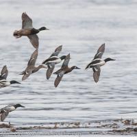 Mixed Flock of Ducks in Flight