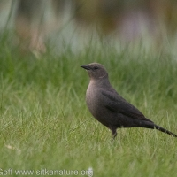 Brewer's Blackbird at Swan Lake
