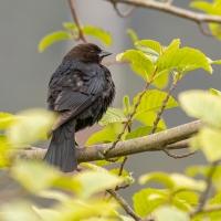 Brown-headed Cowbird at Swan Lake