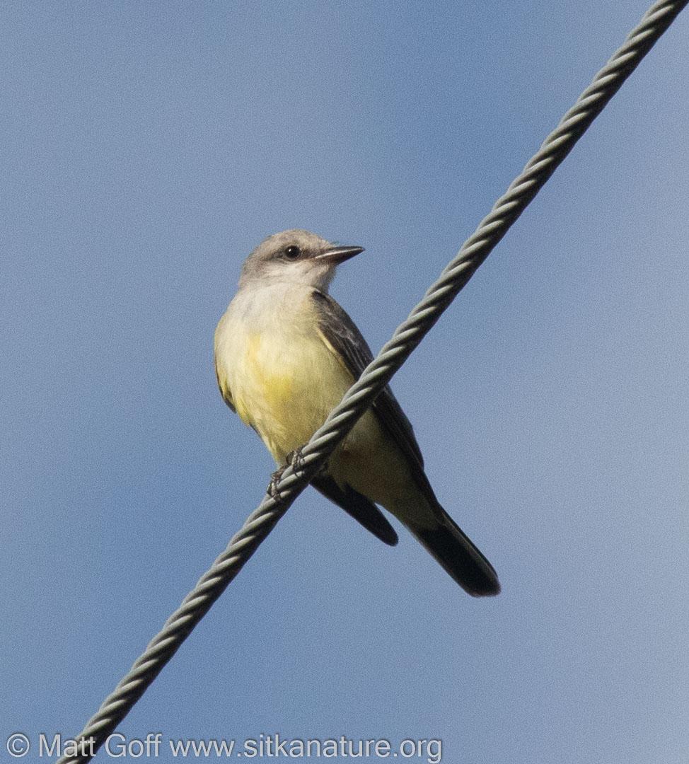 Western Kingbird along Edgecumbe Drive