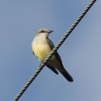 Western Kingbird along Edgecumbe Drive