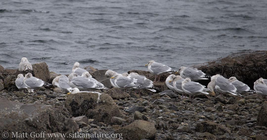 Gulls at Eagle Way Beach