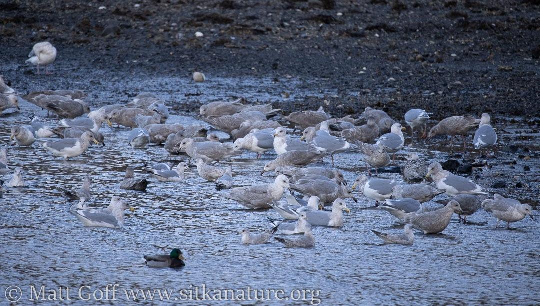 Gulls Feeding
