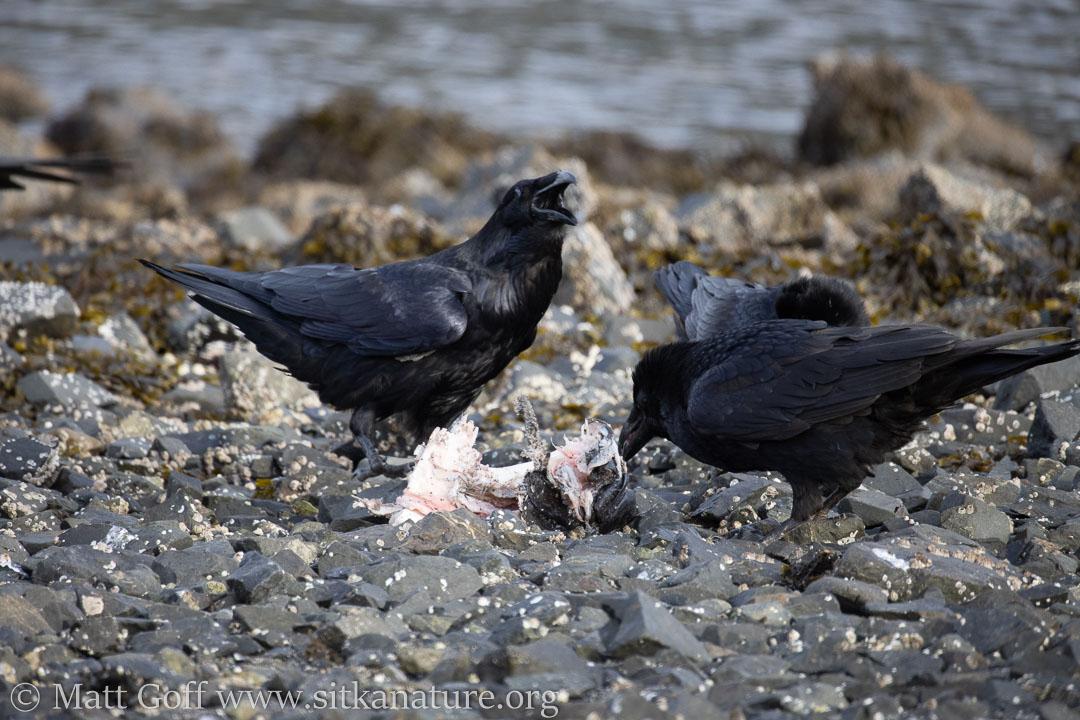 Ravens at Halibut Remains