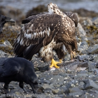 Bald Eagle at Halibut Remains