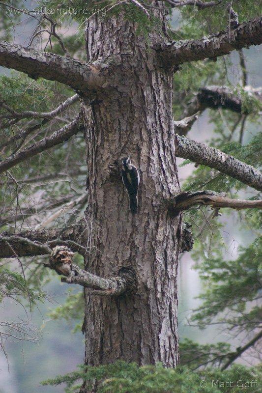 20040409-04-09woodpecker.jpg