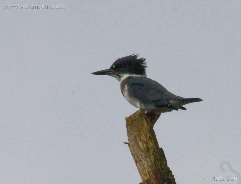 20040731-07-31p7kingfisher.jpg