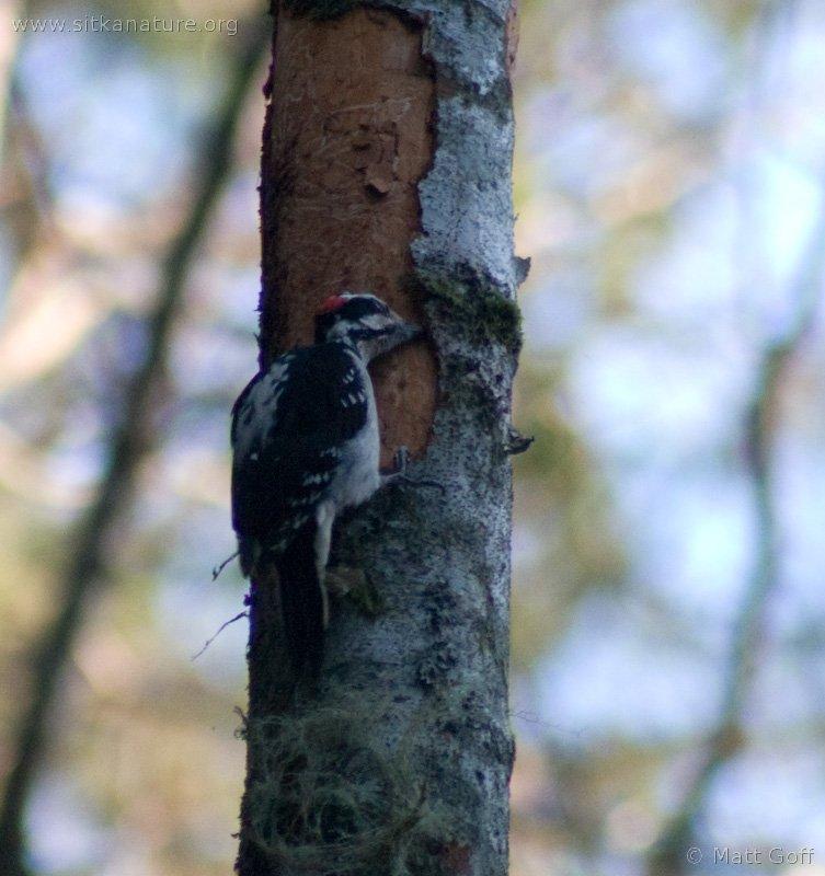 20050115-01-15p03woodpecker.jpg
