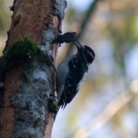20050115-01-15p02woodpecker.jpg