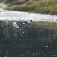20061003-10-03p02kingfisher.jpg