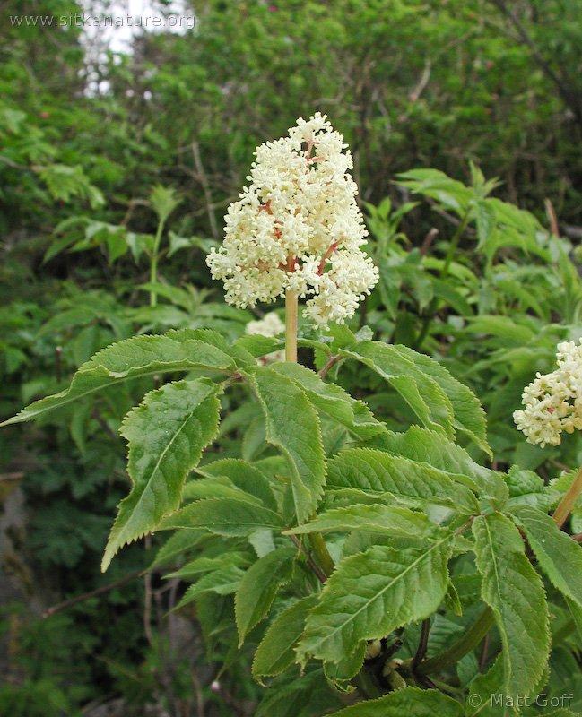 20030521-05-21elderberryflowers.jpg