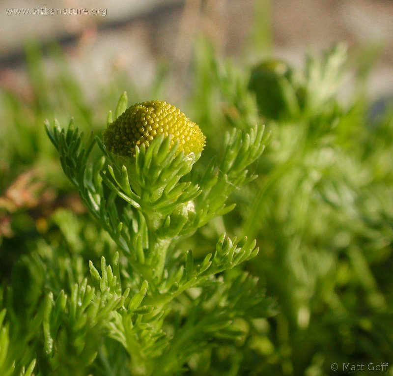 20030704-07-04pineappleweed.jpg