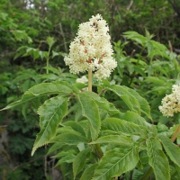 20030521-05-21elderberryflowers.jpg