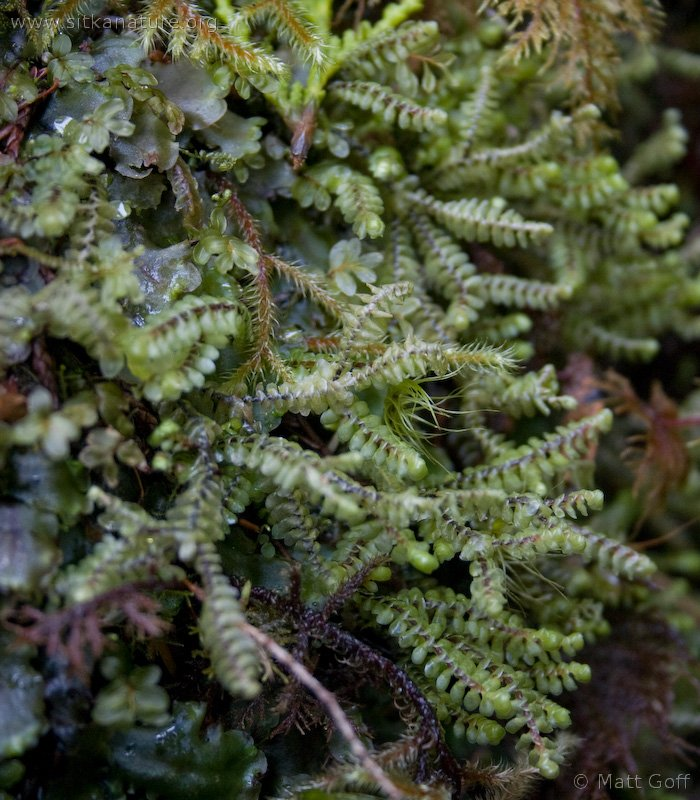 20040320-03-20bryophyte2.jpg