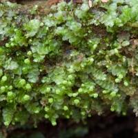 20060616-06-16p04bryophyte.jpg