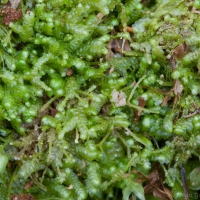 20060616-06-16p06bryophyte.jpg