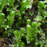 20060616-06-16p12bryophyte.jpg