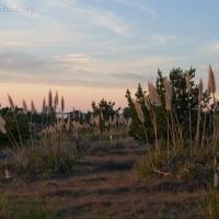 Pamaps Grass at Sunset