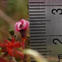 20030613-06-13bogcranberryflower2.jpg