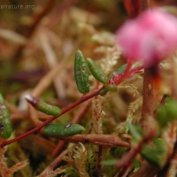 20030613-06-13bogcranberryleaves.jpg