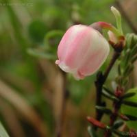 20030616-06-16bogblueberryflower.jpg