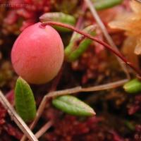 20030730-07-30bogcranberry.jpg
