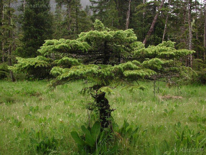 20030621-06-21sprucetree.jpg