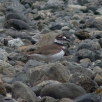 20060407-04-07p04killdeer.jpg