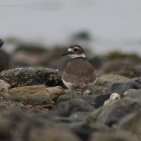 20060407-04-07p05killdeer.jpg