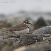 20060407-04-07p06killdeer.jpg