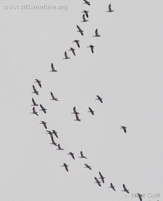 Flight of Snow Geese