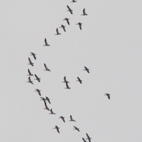 Flight of Snow Geese