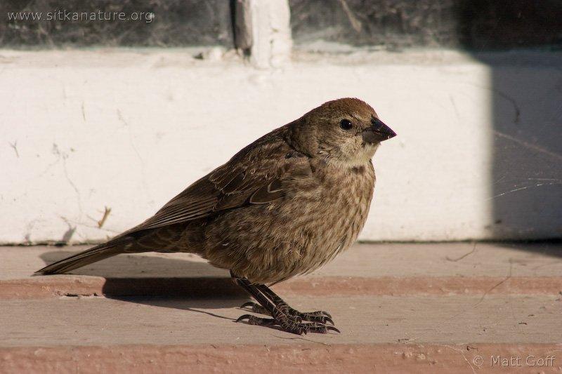 20040824-08-24p3cowbird.jpg