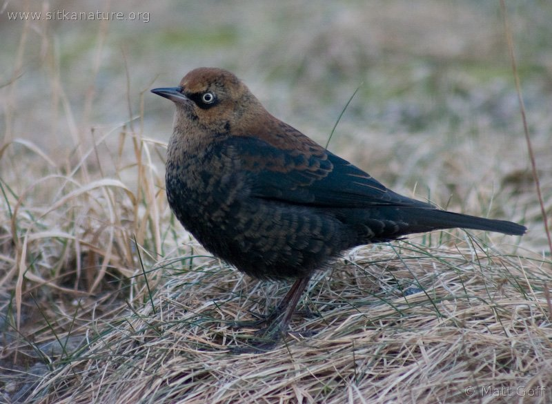 20050109-01-09p2blackbird.jpg