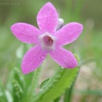 20000807-8-7pinkflower3.jpg