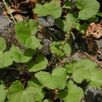 20030613-06-13mountainsorrel2.jpg