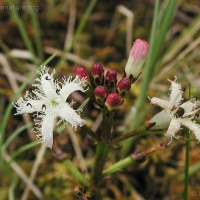 20030616-06-16buckbeanflower.jpg