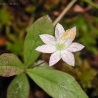 20030621-06-21starflower.jpg